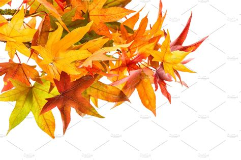 Red green yellow maple leaves   High-Quality Nature Stock