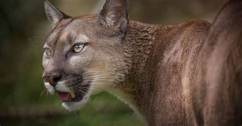 Mountain lion with second set of teeth growing out of its
