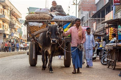 ox cart transporting heavy load, india
