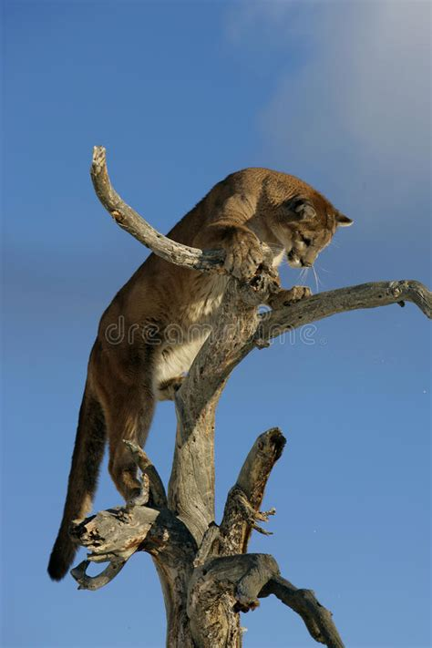 Mountain Lion in a tree stock photo